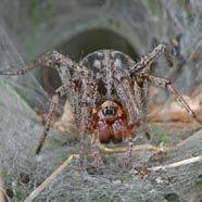 Die Spinne des Jahres 2011 wurde gewählt
