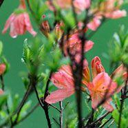 Rhododendren wachsen wie Unkraut, wenn man…