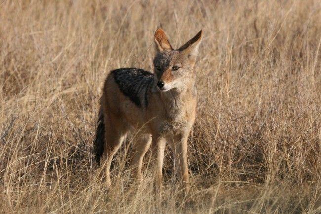 Vermeintlicher Fuchs entpuppte sich als Schakal