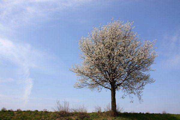 Streuobstwiesen bieten gerade im Frühling einen herrlichen Anblick