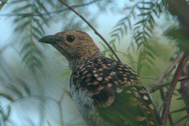 Der Fleckenlaubenvogel ist ein umsichtiger Gärtner.