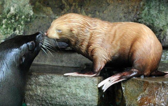 Am Freitag präsentierten sich Mutter und Sohn erstmals im Nebenbecken der Robbenanlage den Besuchern.