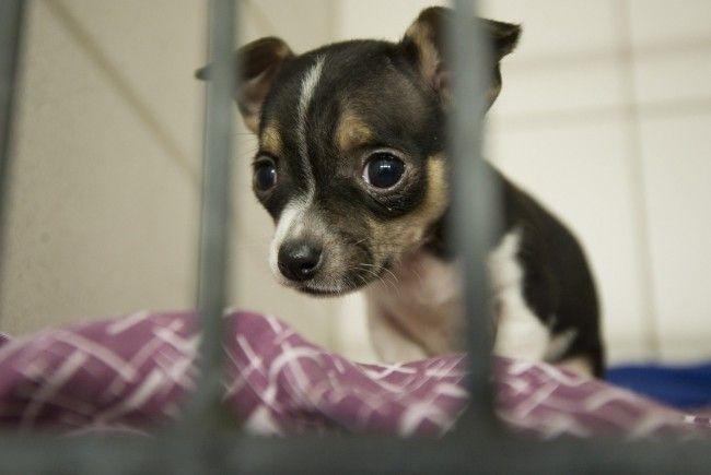 230 Chihuahua-Welpen über Grenze geschmuggelt.