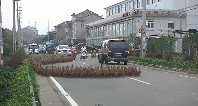 Diese Straße gehört den Enten.