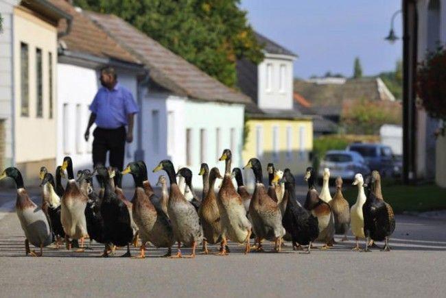 Enten spazieren auf einer Straße durch das Dorf Großmeisldorf, Bezirk Hollabrunn