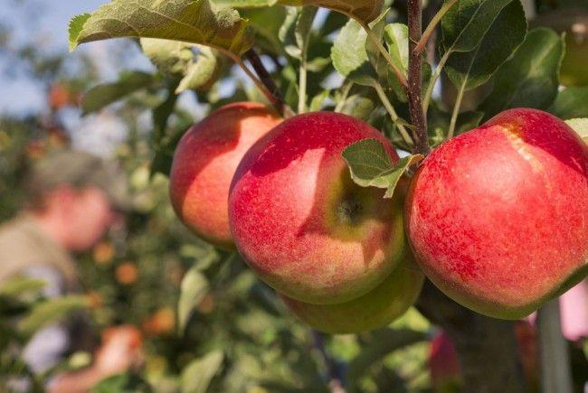 Apfelernte: Heuer bescheidene Erträge