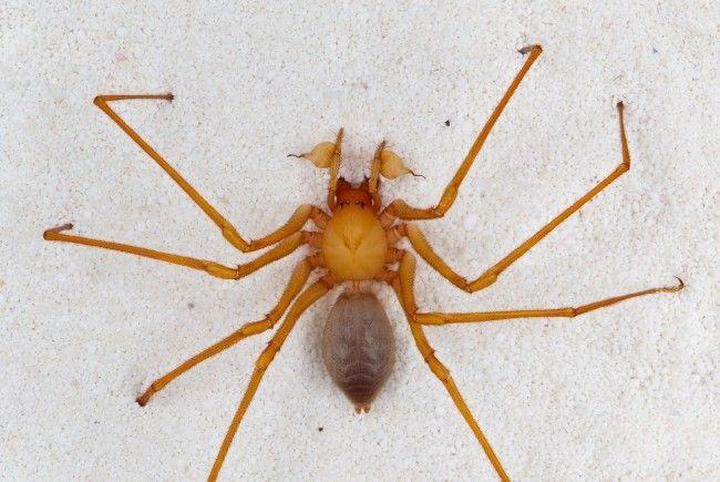 s ist eine kleine zoologische Sensation: In einer Höhle im Nordwesten der USA haben Forscher eine Spinne entdeckt, die in keine der bisher bekannten Familien des Spinnenstammbaums passt.
