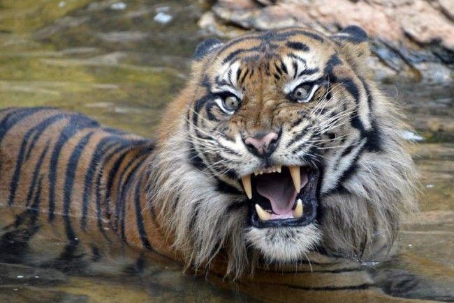 Tiger wurde erschossen