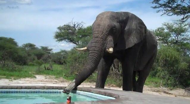 Elefant verwechselte Swimmingpool mit Wasserloch