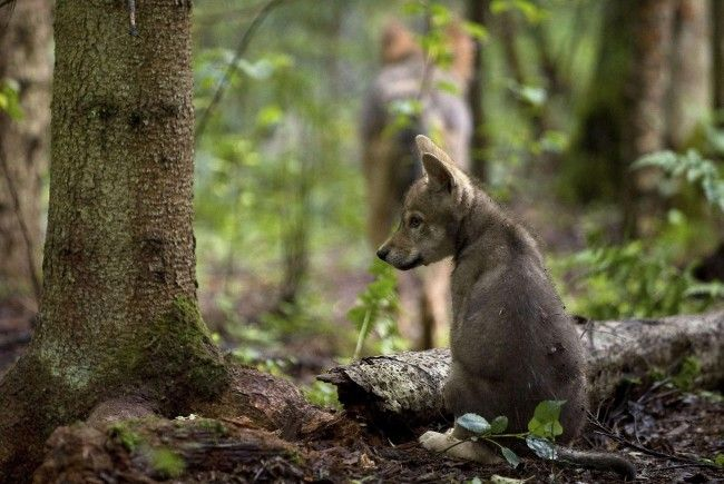 Hält der Wolf bald auch in Vorarlberg Einzug?