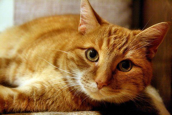 Nach dem Tod einer wertvollen roten Katze kam es in Wiener Neustadt zum Prozess