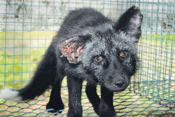 Die Tiere werden in kleinen Käfigen gehalten und müssen unter grausamen Bedingungen leben. Ein VGT-Aktivist hat diesen Silberfuchs in Skandinavien in einer Pelztierfarm mit groben Verletzungen vorgefunden.