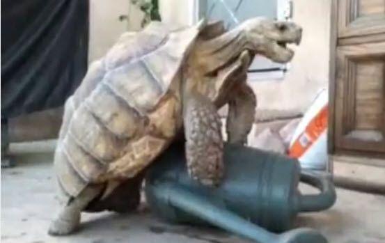 Liebeswütige Schildkröte