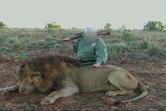 Wenn es mit der trophäenjagd so weitergeht stirbt der löwe