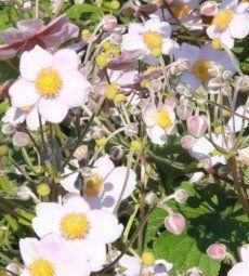 Die Anemone blüht bis in den Herbst
