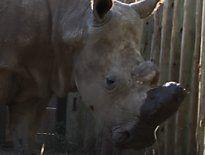 Das siebtletzte Nördliche Breitmaulnashorn ist tot