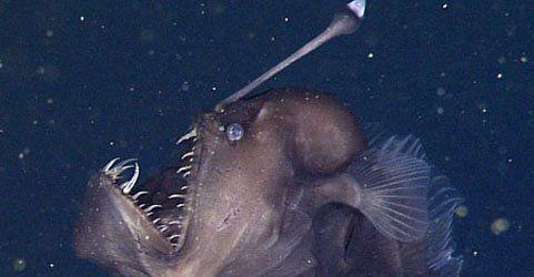 Skurriles Wesen: Tiefseeteufel erstmals auf Video gebannt