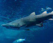 Zweite Hai-Attacke in zwei Tagen