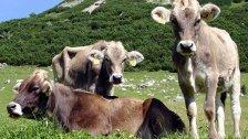 Neuer Verdacht auf Rinder-TBC in Vorarlberg
