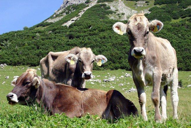 Rinder auf den Alpen. Dort geht vom Rotwild die Gefahr einer Ansteckung durch den TBC-Erreger aus.