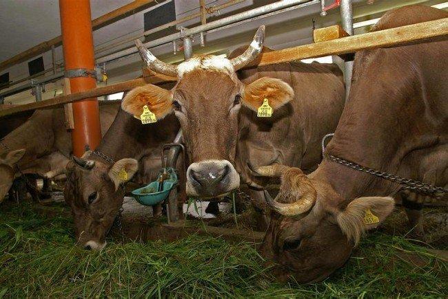 Auf vielen Bauernhöfen grassiert die Angst vor Rinder-TBC
