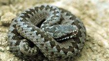 OÖ: Neunjähriger nach Schlangenbiss kollabiert