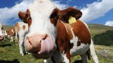 Vorarlberger Milchpreise sinken auf Rekordniveau