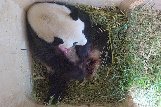 Der neu geborene Panda ist noch winzig klein und rosa