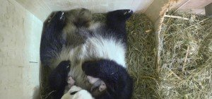 Schönbrunner Pandazwillinge entwickeln sich wunderbar