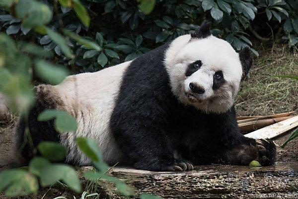 Jia Jia wurde in der Wildnis geboren