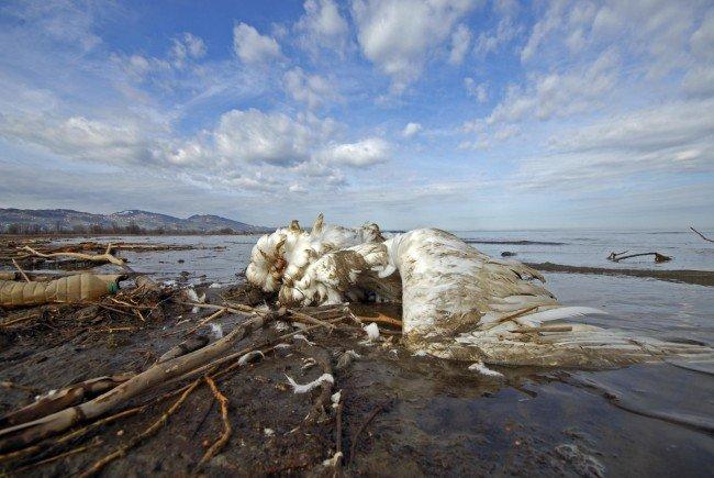 Am Bodenseeufer wurden mehrere tote Vögel gefunden.