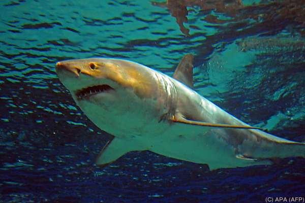 Dramatischer Angriff eines weißen Hais