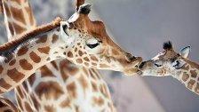 Tierschützer warnen: Giraffen auf Roter Liste