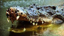 Riesenkrokodil tötete Australier