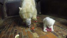 Kleiner Eisbär, großer Hunger!