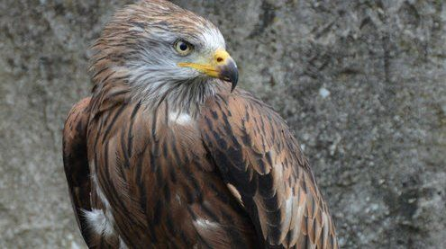 Lustenau: Geschützter Greifvogel in Naturschutzgebiet geschossen