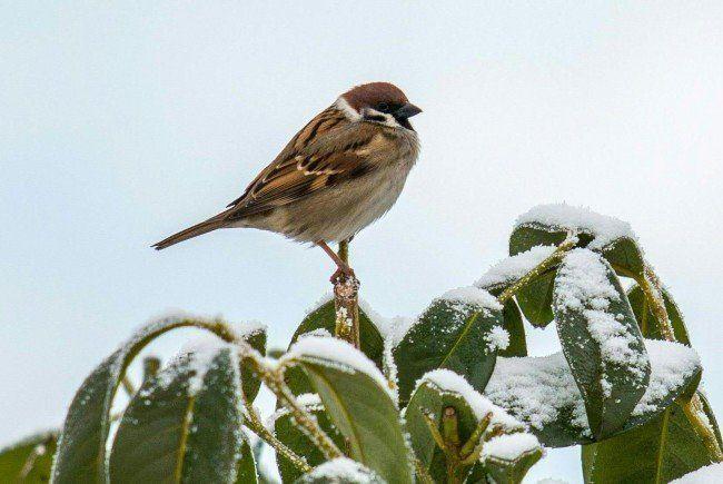 "Sperlinge sind ""Siegervögel"" in diesem Winter"