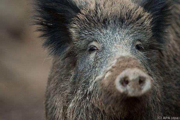 Wildschweine sind in mehreren Gegenden Italiens ein Problem