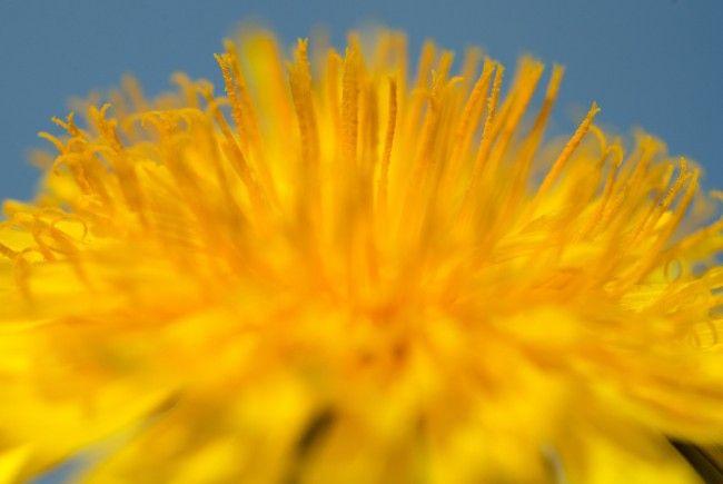 Auch Löwenzahnhonig ist ein beliebtes Erzeugnis aus diesen Blumen.