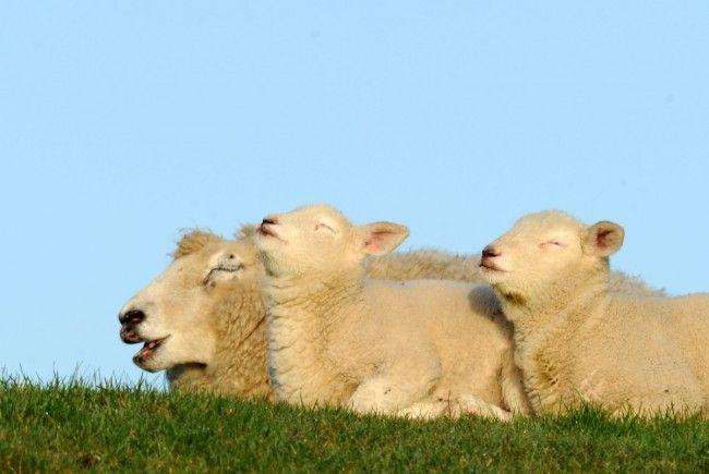 Schaf oder nicht Schaf – das ist hier die Frage!