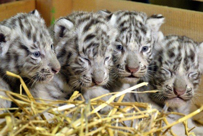 Weiße Tiger geboren: Das sind Falco, Toto, Mia und Mautzi