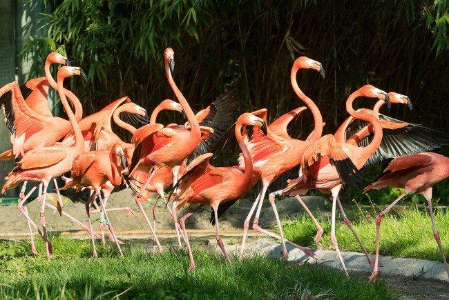 Die Roten Flamingos in Schönbrunn dürfen wieder ihre Freiheit in der Außenanlage genießen