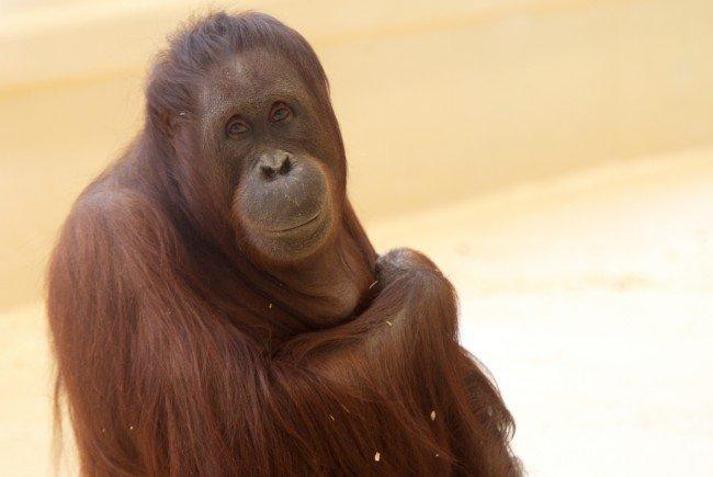 Der Nachwuchs der Orang-Utan-Dame Sol kam tot zur Welt.