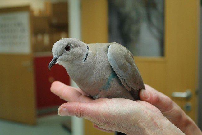 Die gequälte Taube wird nun im Wiener Tierschutzverein gepflegt.