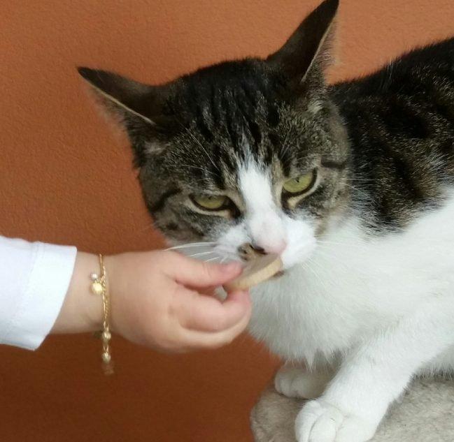 Grau-weiße Katze aus Egg wird vermisst