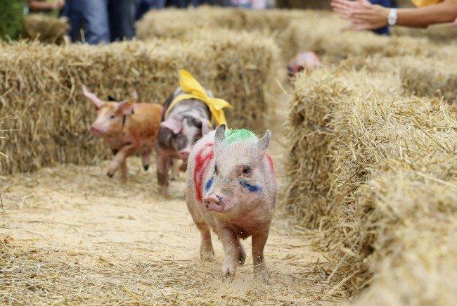 Live vom Schweinerennen in Rankweil: Auf die Plätze – Sau – Los!
