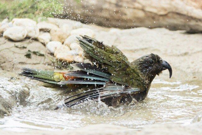Fröhlich pritscheln die Keas im Tiergarten Schönbrunn