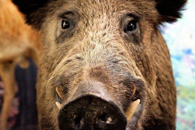 Ein Wildschwein attackierte den britischen Botschafter im Lainzer Tiergarten.