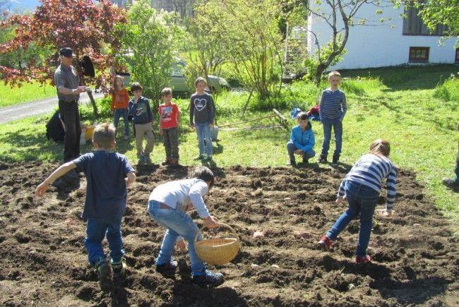 Viel Arbeit und viele Fragen rund im das unterirdische Knollengemüse gab es bei der Gemeinsamen Aktion von Obst- und Gartenbauverein und Volksschülern.