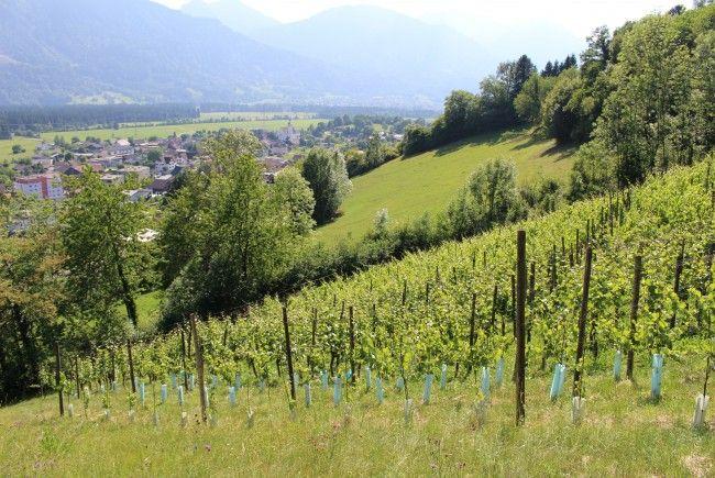 Ein Gläschen Wein aus Bludesch: Am Weinberg Jordan wachsen verschiedene Rebsorten.